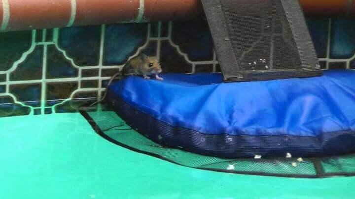 mysz w basenie