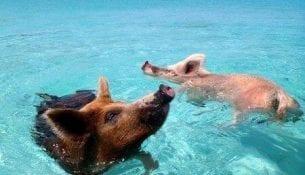 Vorobek Bahamas swimming pigs
